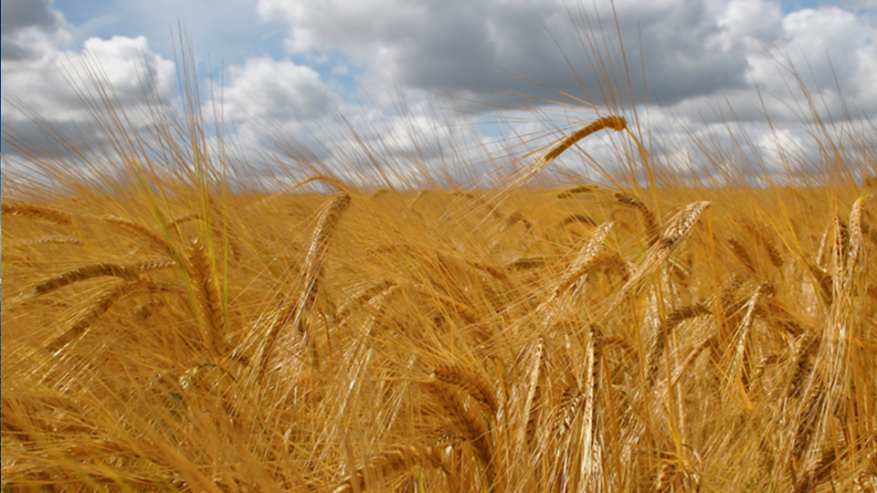 Barley Malt: The Heart of The Flavor